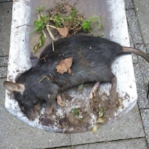 Solution to rat infestation in Acht
